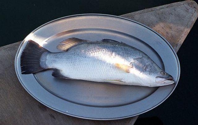 Cung cấp cá chẻm