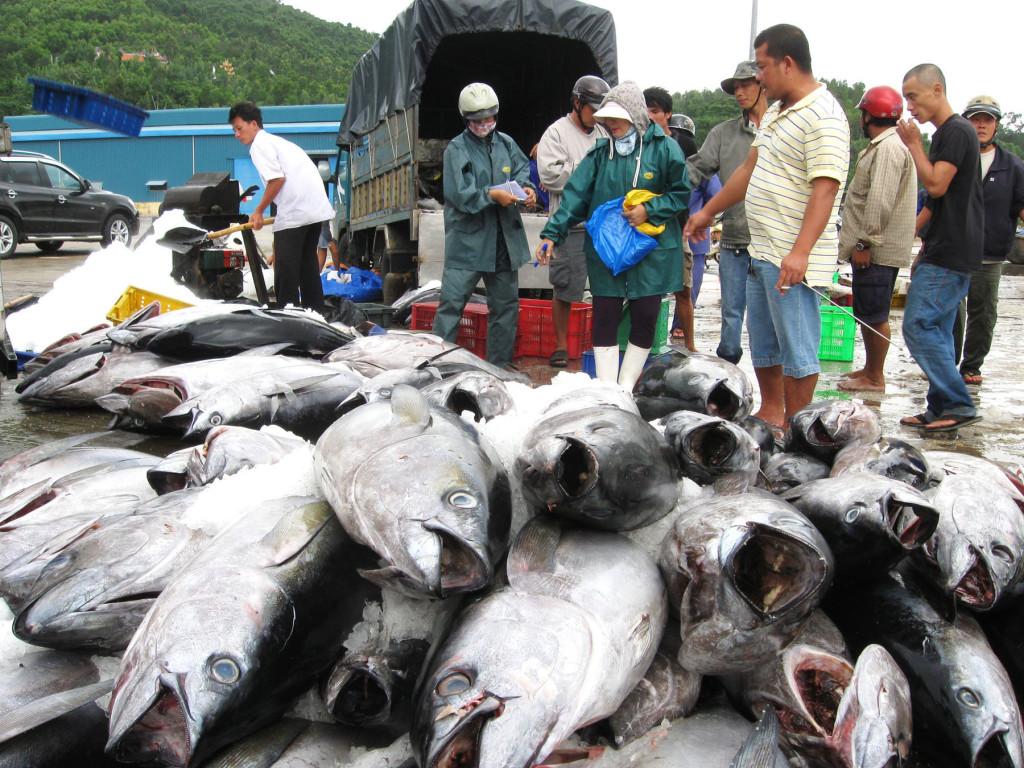 cá ngừ đại dương tươi sống