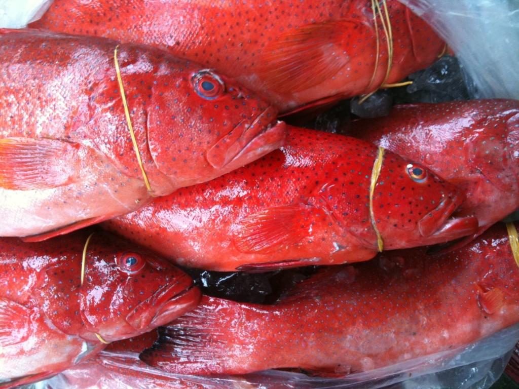 Cá bống mú đỏ