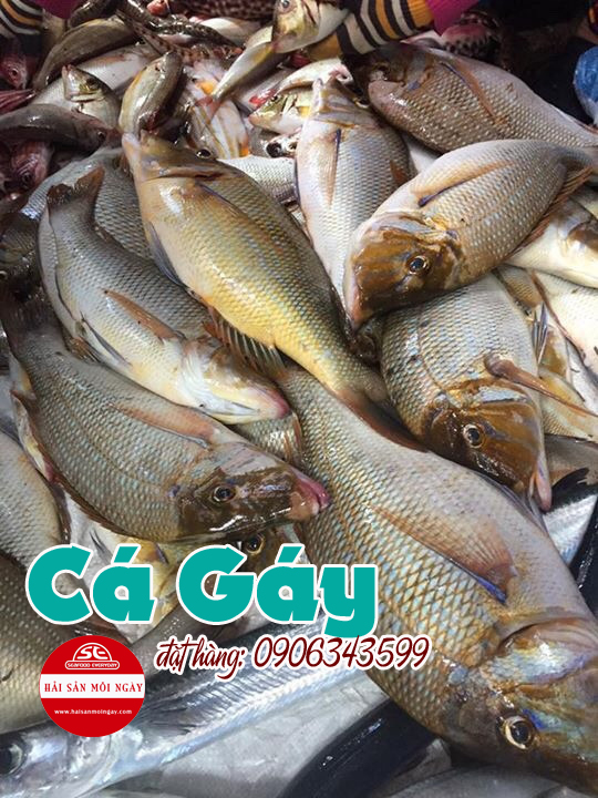cá gáy
