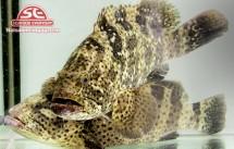 Cá mú trân châu