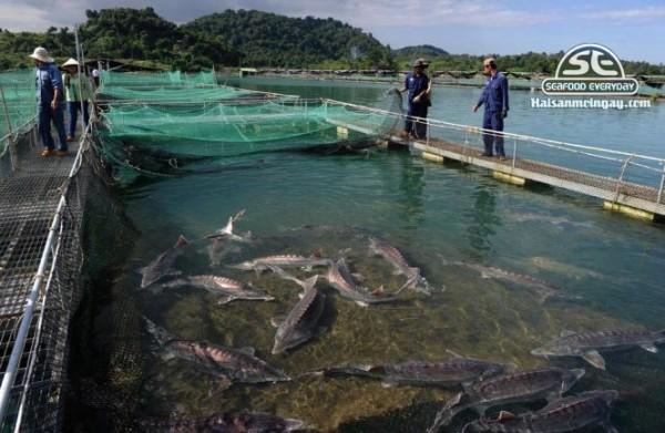 Trại nuôi cá tầm
