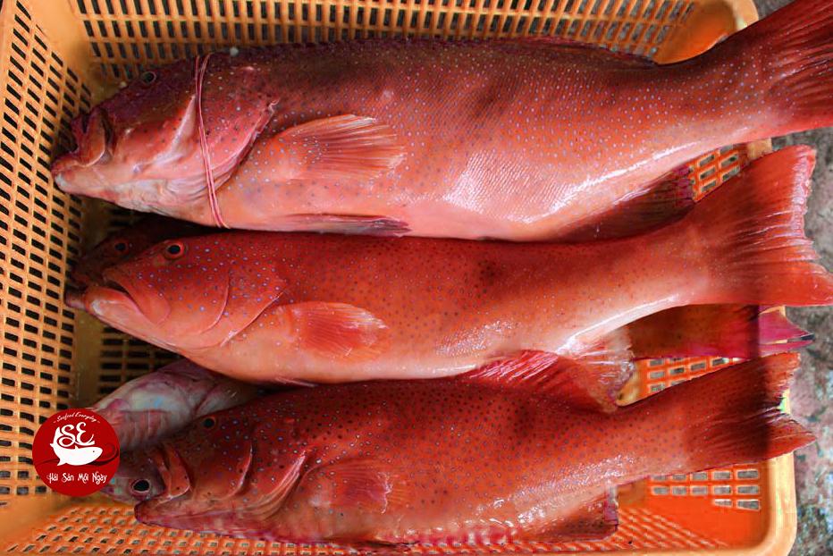 Cá mú đỏ to nhu thế này, thì có thể chế biến nhiều món ngon