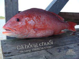 cá hồng chuối